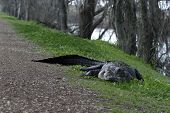 Large alligator waiting next to hiking trail poster