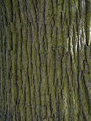 Texture of old tree bark covered with green moss poster