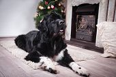 adult Newfoundland in studio by the fireplace poster