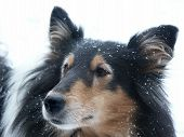 Portrait of a British Collie in snow poster