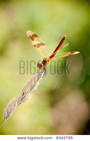 Banded Darter (Sympetrum pedemontanum) is a European species of dragonfly of the family Libellulidae. poster