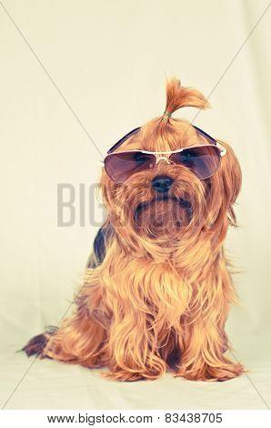 Sitting Portrait Of Dog In Sunglasses