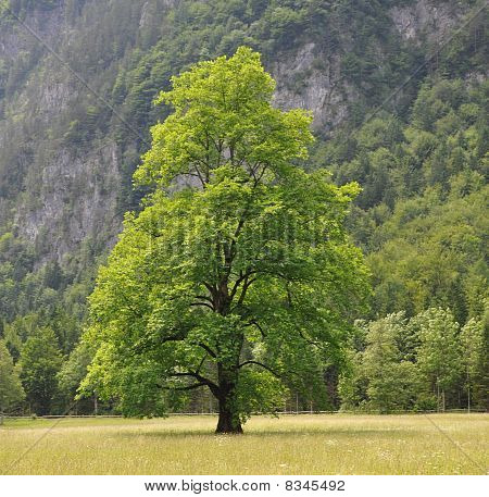 Beautiful tree alone in field