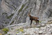 a beautiful kid chamois on stones mountain poster