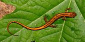 Long-tailed Salamander (Eurycea longicauda) at Tishomingo State Park in Mississippi. poster