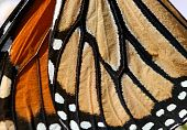 Macro close up of an Monarch Butterfly Wing poster