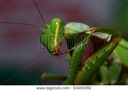 Green Mantis