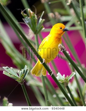 Yellow Canary Serinus Canaria