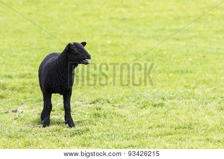 Young Horned Black Lamb Bleating