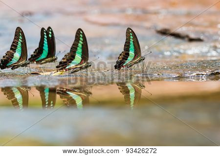 Group Of Common Bluebottle Butterflies
