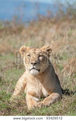 Lioness Lying Down While Looking Straight Ahead At Camera