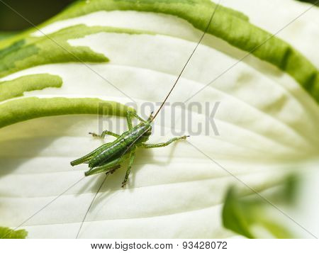 Grasshopper On White Leaf Of Hosta Plant In Summer