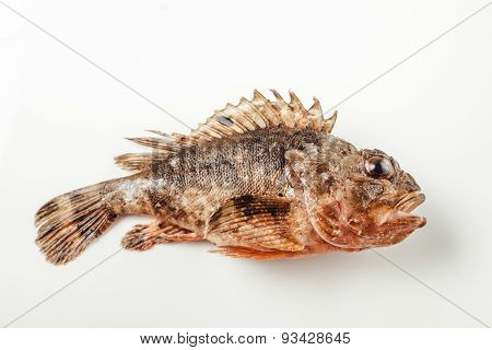 Fresh whole scorpion fish