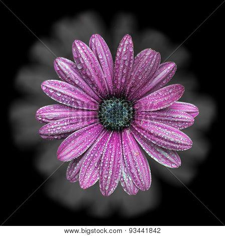 Pink Chamomile Flower
