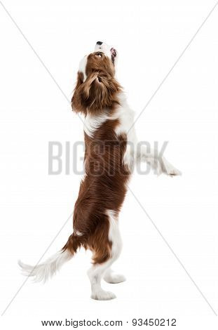 performing pure-bred dog puppy Cavalier King Charles Spaniel stand up on hind legs isolated poster