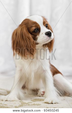 pure-bred dog puppy Cavalier King Charles Spaniel sit poster