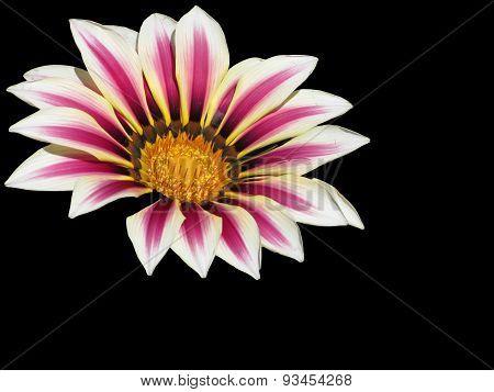 Pollination Of Gazania Flowerhead Isolated On Dark Background
