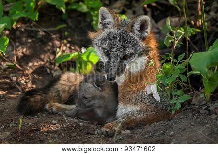 Grey Fox Vixen & Kit (urocyon Cinereoargenteus) Snuggle In Den Entrance