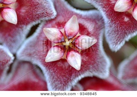 Hoya ovalifolia flower
