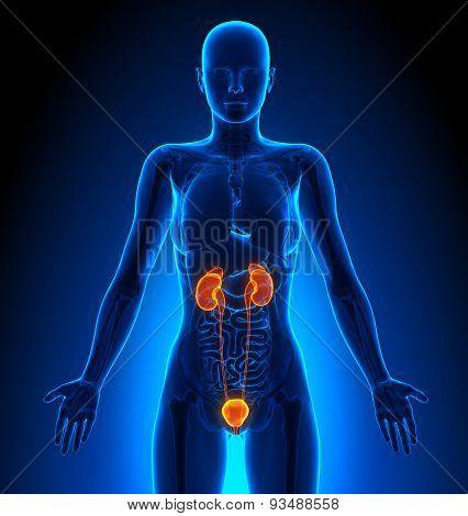 Urinary System - Female Organs - Human Anatomy