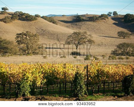 Wine Grapes and hillside