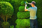 Topiary Trimming Plants. Male Gardener with Large Hedge Trimmer at Work. poster