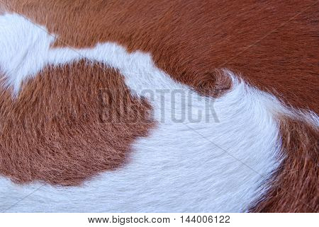 Brown and white cowhide. Fragment of a cow skin