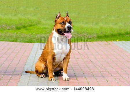 American Staffordshire Terrier fawn and white.  The American Staffordshire Terrier is in the city park.