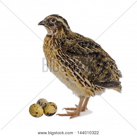 Laying hen of domesticated quail with eggs isolated on white background.  Domesticated quails are important agriculture poultry