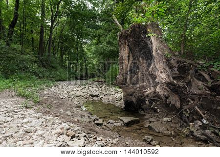 Old Tree in Forest with Rocky Path and Creek