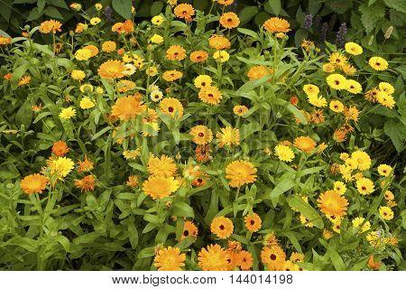 Image of Calendula (Calendula officinalis) flowers in a garden.
