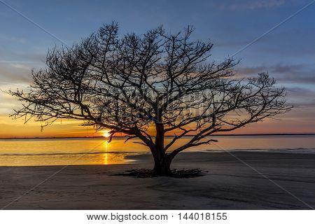 Live Oak Tree Growing On A Georgia Beach At Sunset