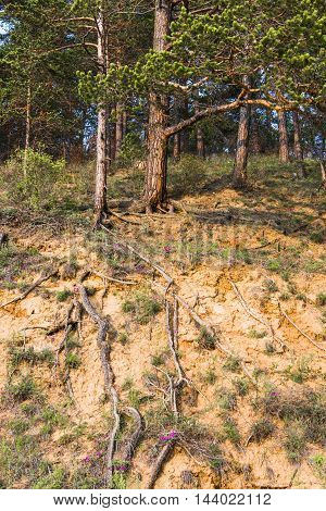 The rains revealed the writhing roots of the pine trees on a high sandy banks of the Siberian rivers.