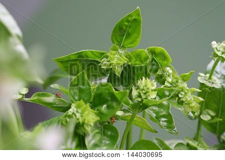 Branch of green basil spice on white
