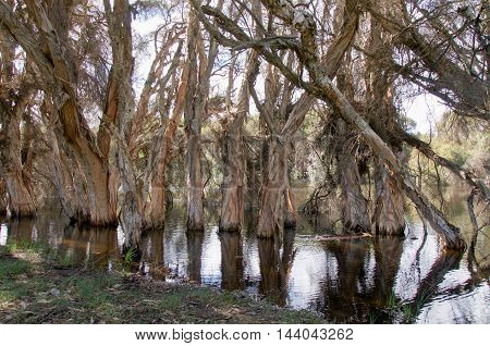 Unique paper bark trees in the wetland waters at the wildlife reserve Herdsman Lake in Western Australia.