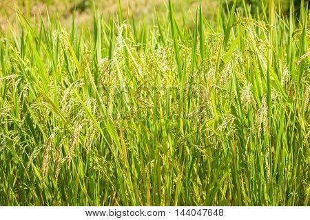 Closed up of ripening rice in a paddy field
