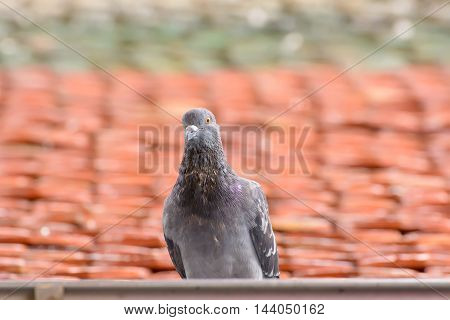 Pigeon On Roof Tiles