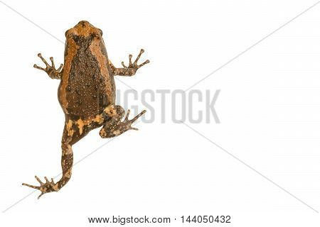 Rana nigrovittata is a species of frog in the Ranidae family.