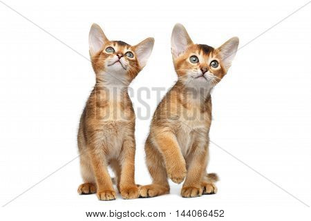 Two Cute Abyssinian Kittens Sits and Curious Looking up on Isolated White Background, Front view, Baby Cat