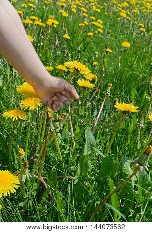 Breakin. Hand of a child picking a dandelion flower.