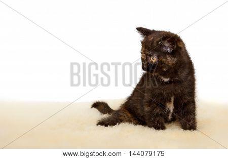Portrait of British Shorthair Kitten sitting, 8 weeks old, black tortie color.