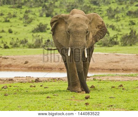 single African elephant standing and eating from short grass next to a water hole in the hot sun