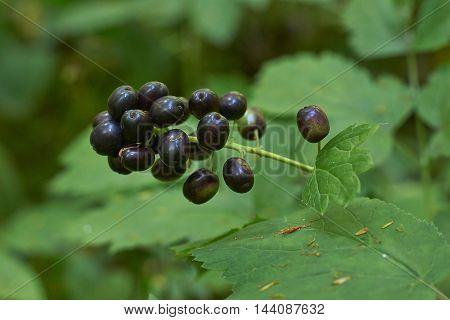 A rare plant Actaea spicata is very poisonous fruit.
