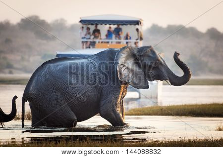 Tourist watching an elephant crossing a river in the Chobe National Park in Botswana Africa; Concept for travel safari and travel in Africa