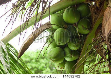 Coconut on a Coconut tree in Brazil