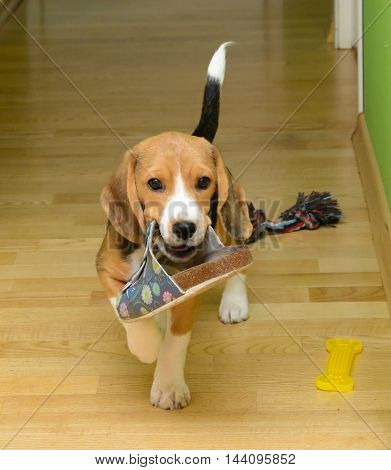 Beagle dog carries slippers in the room