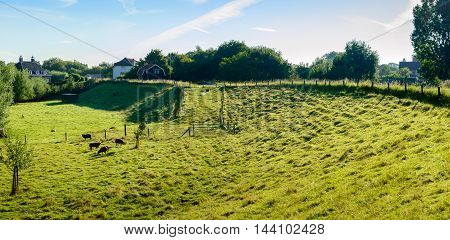 Backlit image of a small meadow with brown sheep at the inside of a dike near a small Dutch village in the countryside. It is early in the morning of a sunny day in the summer season.