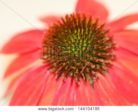 Macro photo of the center of a pink/coral colored flower