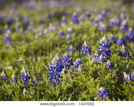 Bluebonnets - State Flower