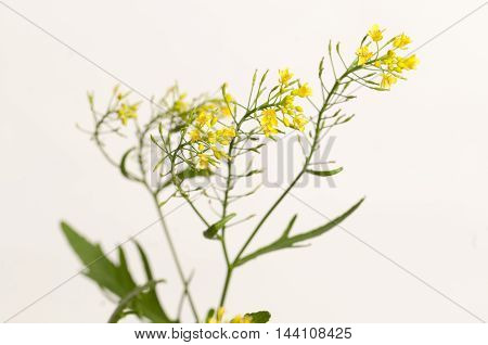 Upland cress on a light background close up shot